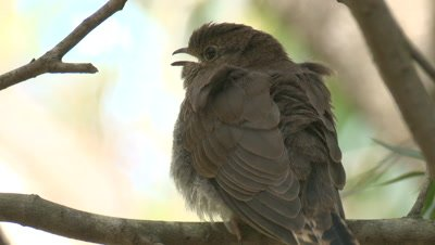 A Cuckoo chick preens its tail while waiting for snacks