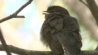 A perched Cuckoo chick waits for snacks from its foster parent