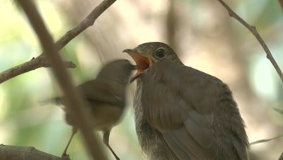 A Cuckoo chick is fed by its foster parent