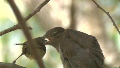A Cuckoo chick is fed by a White-browed Scrubwren