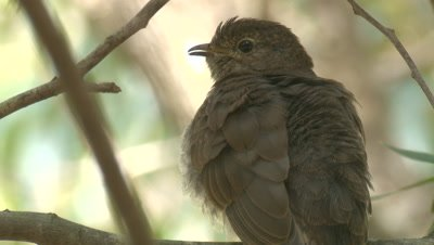 A Cuckoo chick preens while waiting for snacks on its perch