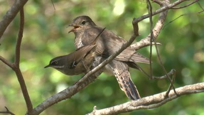 A Cuckoo chick receives two snacks from its foster parent
