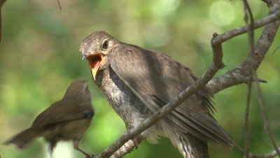 A Cuckoo chick pecks its foster parent after receiving a snack