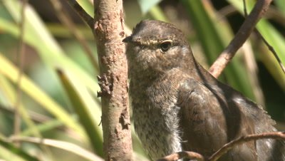 A Cuckoo chick waits for snacks,but decides to relocate