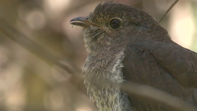 Tight shot of a Fan-tailed Cuckoo chick on its perch