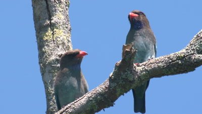 A pair of Dollarbirds rest on a branch