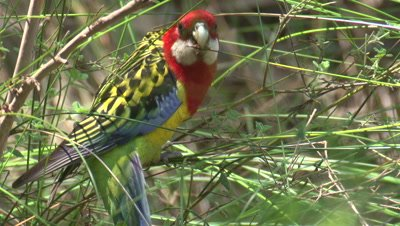 An Eastern Rosella forages on a forest margin