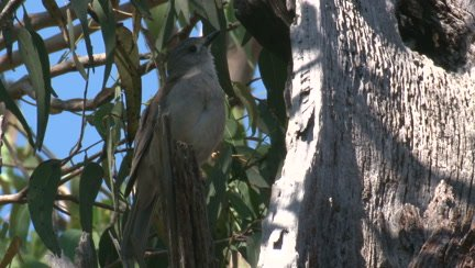 A Shrike-thrush preens and calls in a treetop