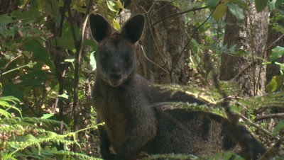 A wallaby in a forest looks at the camera