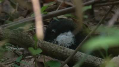 An Eastern Whipbird feeds in the undergrowth