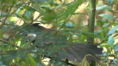 A Whipbird in a bush calls out loud