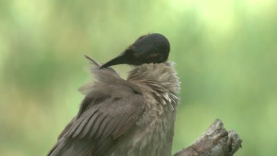 A Noisy Friarbird preens and calls on its perch