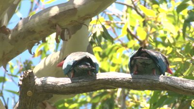 Two Dollarbirds leave their perch and return
