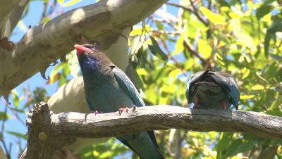 Two Dollarbirds fly off their perch