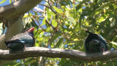 Two Dollarbrds arrive to perch on a branch,one flies off