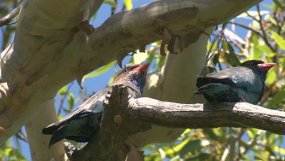 Two Dollarbirds leave their perch high up in a tree