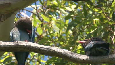 Two Dollarbirds call and leave their perch