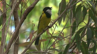 A Golden Whistler voices its song