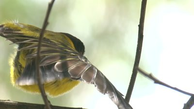 A Golden Whistler sings and preens on a branch