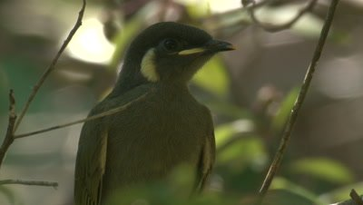 A young Honeyeater waits for food drops from its parent