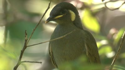 A young Honeyeater waits for food drops by its parent