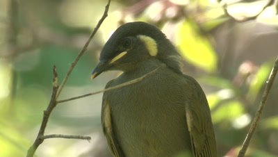 A young Honeyeater waits for food parcels from its parent