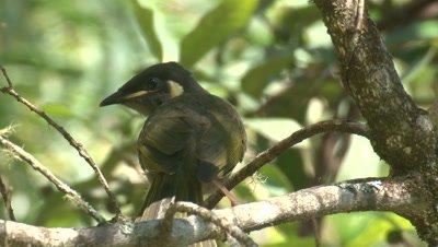 A young Honeyeater hops off its perch