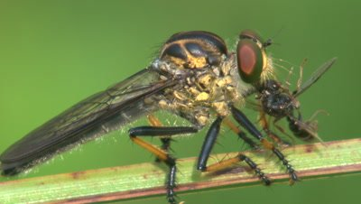 A larger robber fly sucks the juices from a smaller insect
