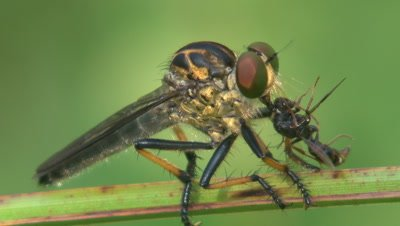 A large robber fly sucks the juices of a smaller insect