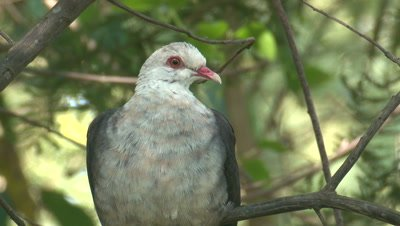 A White-headed Pigeon perches on an Acacia branch