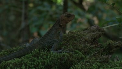 A water dragon walks off a mossy log in the rainforest