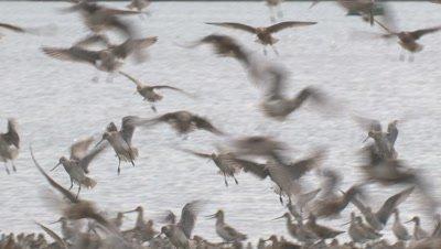 Many waterbirds in flight land on a muddy beach