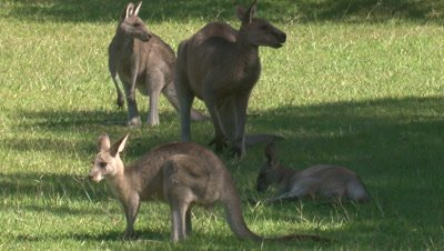 A small mob of Kangaroos graze,while a joey rests on grass