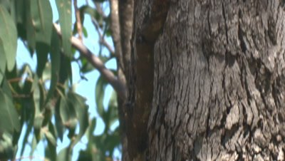 A treecreeper climbs up a tree in search for invertebrates