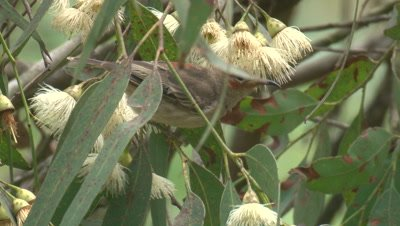 A Honeyeater forages on gum tree blossoms