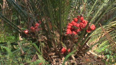 Burrawang with shattered cones,holding the red seeds