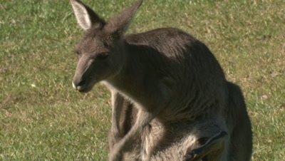 An Eastern Grey Kangaroo scratches itself