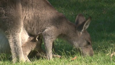 A Kangaroo and its joey in the pouch graze on a meadow