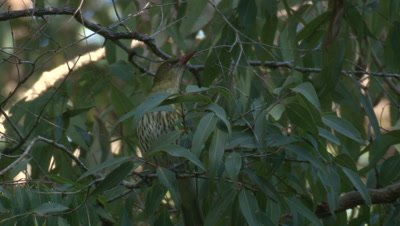 An Oriole,perched on a gum tree,flies off