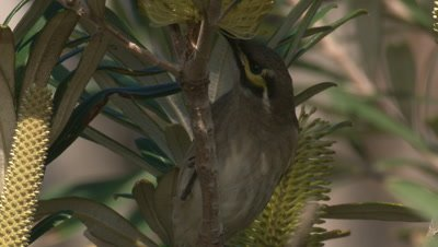 A Honeyeater forages in a flowering Banksia bush and leaves