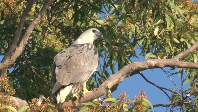 A Sea-Eagle takes a break on a Eucalypt branch