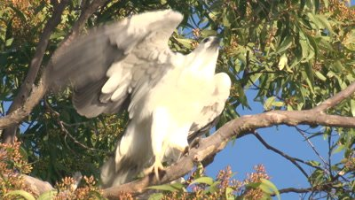 A Sea-Eagle takes a break on a Eucalypt branch and flies off