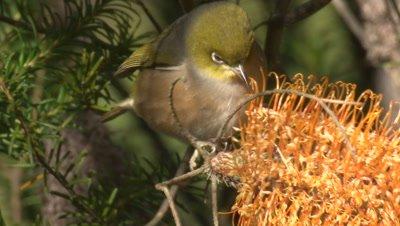 A Silvereye investigates a Banksia cone