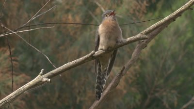 A Fan-tailed Cuckoo keeps calling from its perch
