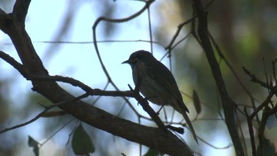 A Honeyeater looks around and flies off a branch