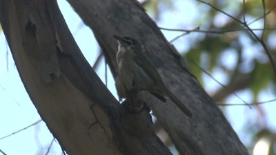 A Honeyeater sings on a tree and flies off
