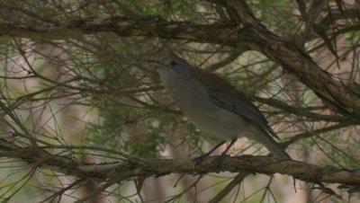 A Grey Shrike-Thrush flies up higher in a tree