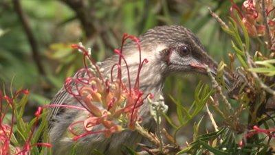 A Red Wattlebird juvenile feeds on a Grevillea bush