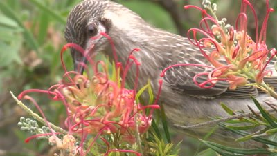 A juvenile Red Wattlebird examines Grevillea blossoms