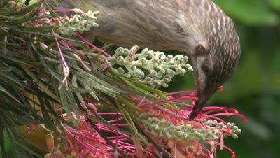 A juvenile Red Wattlebird feeds on Grevillea bloom
